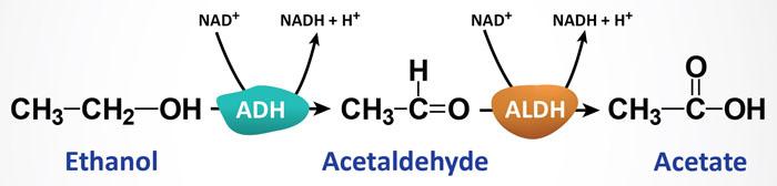 Wzór metaboliczny alkoholu etylowego