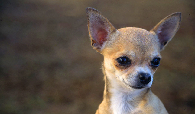 Chihuahua Mutant